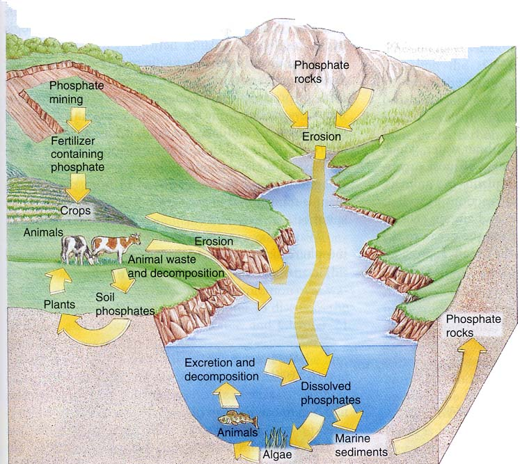 Illustration of how Phosphorus makes it into water